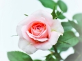 Pink White Rose Photography
